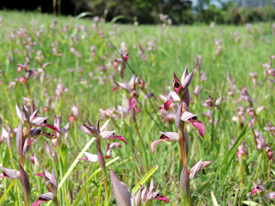 Orquídeas Galicia