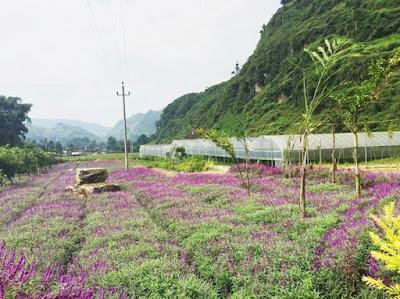 Mùa hoa oải hương ở thung lũng Bắc Hà 8