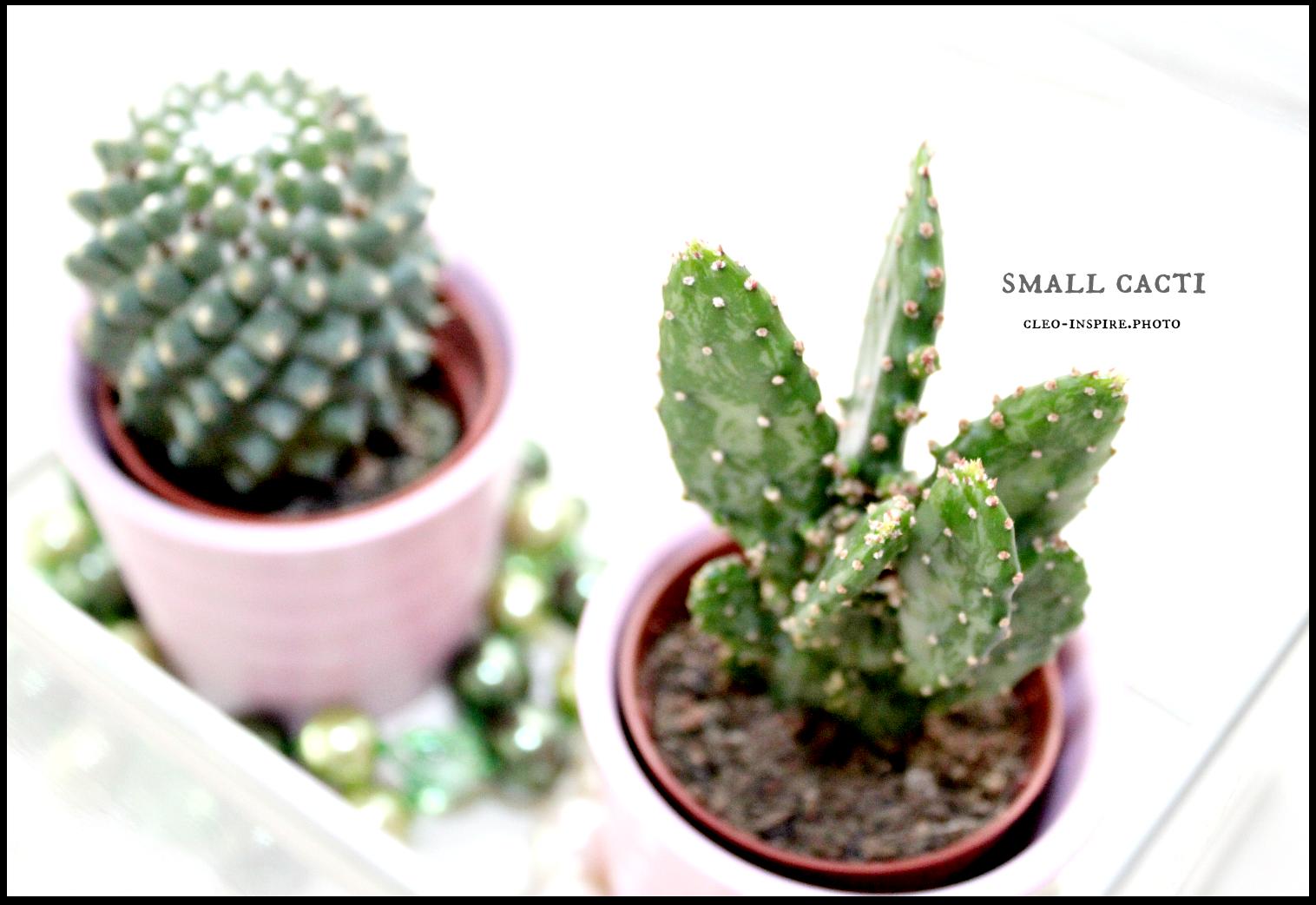 małe kaktusy
