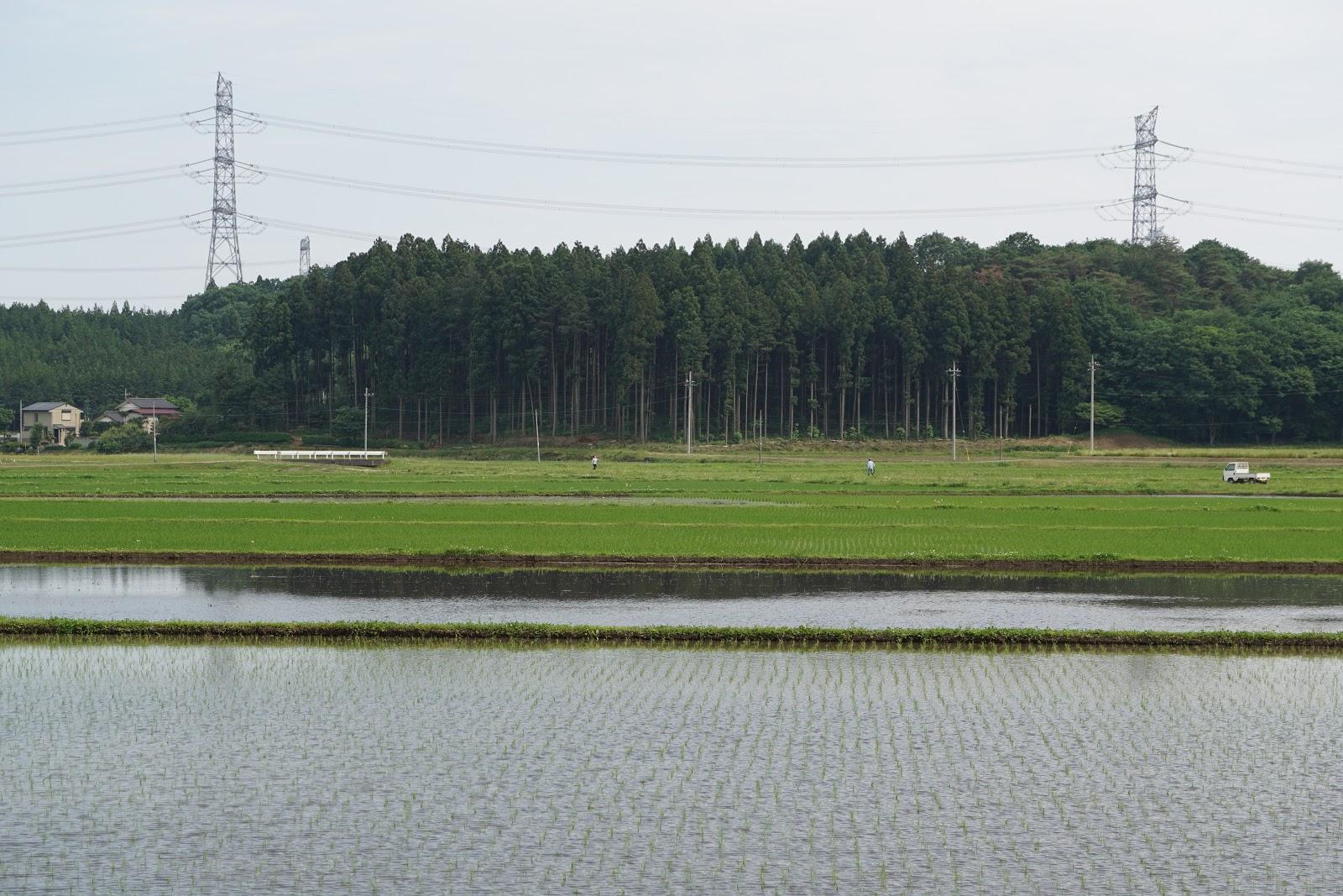 早苗の田園風景
