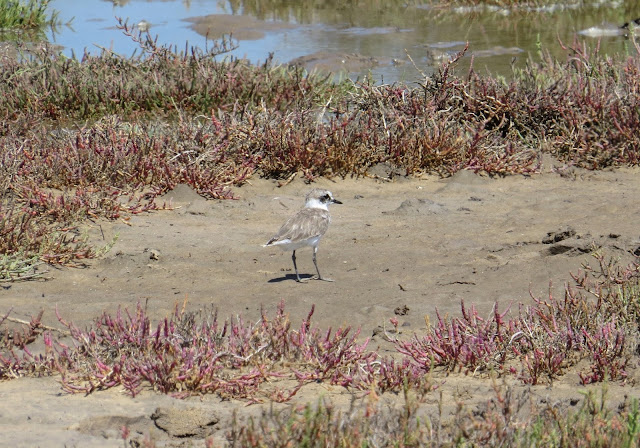 Kentish Plover - Spain