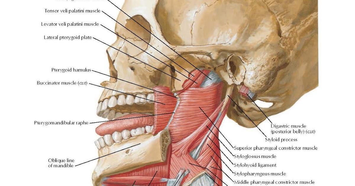 Tensor Veli Palatini Dissection