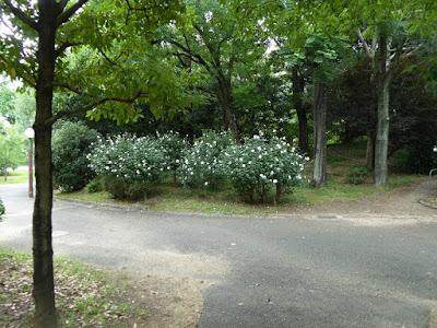 花博記念公園鶴見緑地 むくげの花