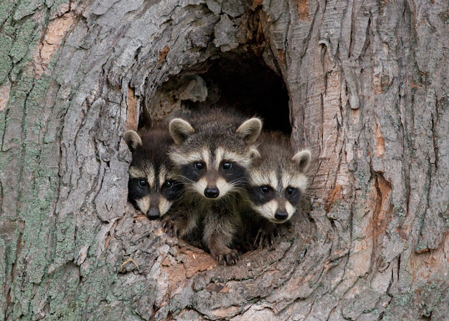 Easy Ways Followed by the Experts to Remove Raccoons from Your Homes
