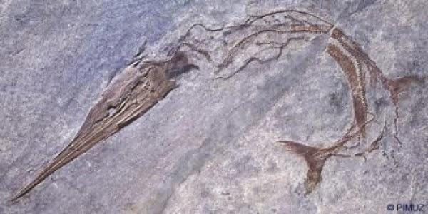 Saurichthys, predator puncak rantai makanan