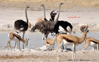 Di mana Ostrich hidup
