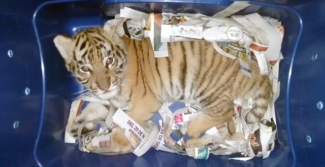 "Traficantes de ""Tigres de Bengala"" pretendieron enviar cachorro por paqueteria en Jalisco"