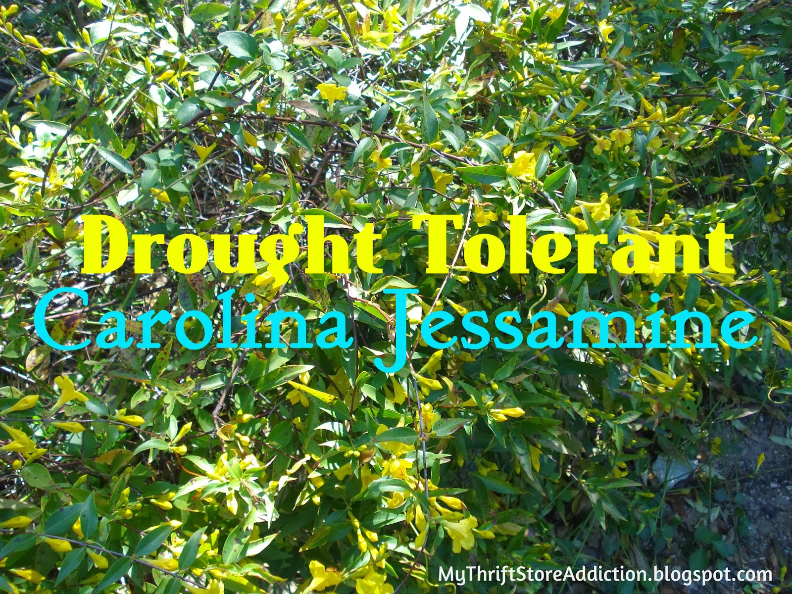 My thrift store addiction hardy drought tolerant plants for Low maintenance drought tolerant plants