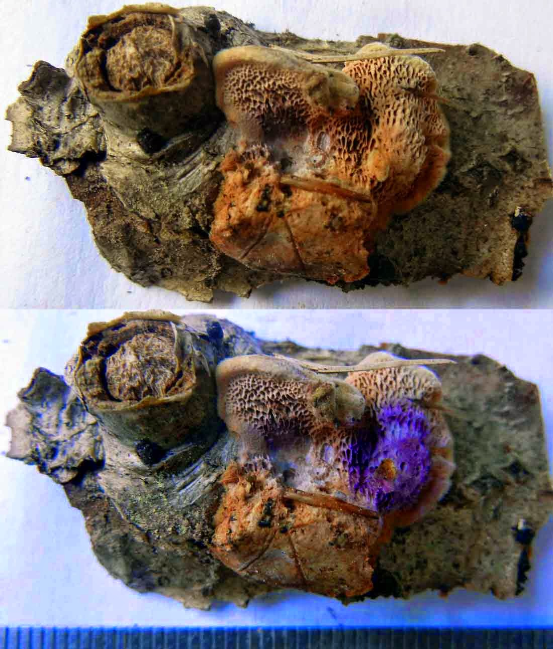 Hapalopilus nidulans turns purple with KOH or ammonia