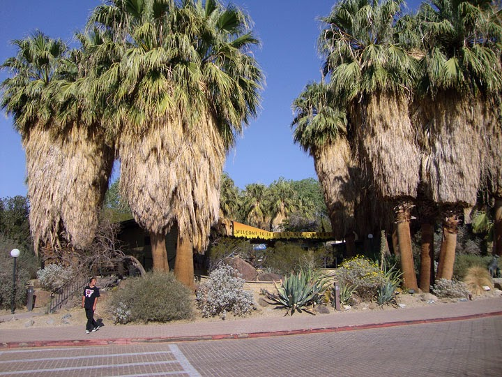 desert fan palm, petticoat palm, at the entrance to the Living Desert Zoo
