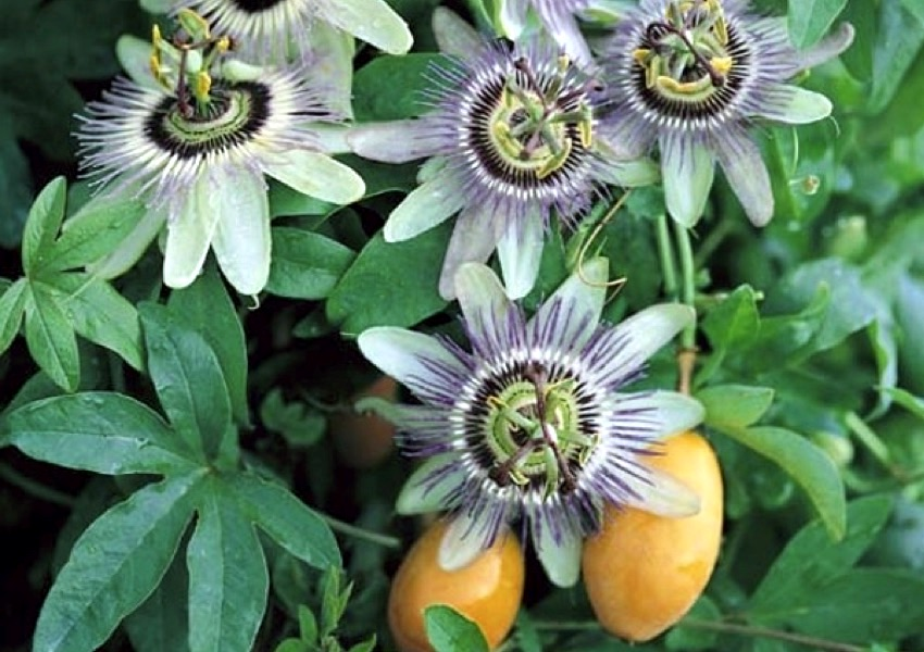 Passion Flowers and Italians