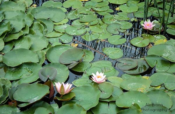Water lilies at Monet Lake thanksgiving point ashton gardens