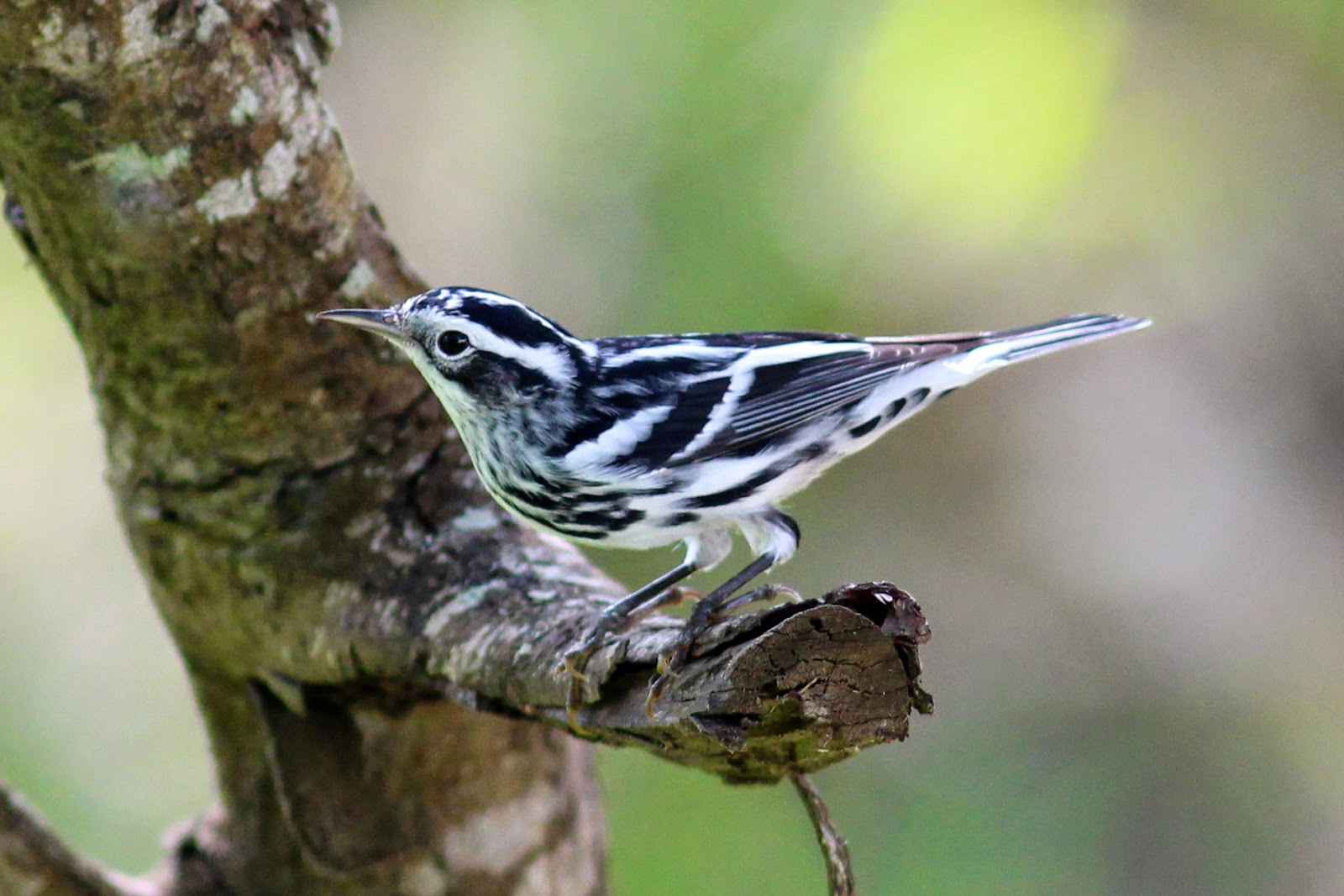 bird antshrike sparrow advertised sparrows hoping yet come would north front