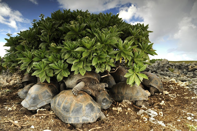 Tartarugas gigantes buscam refúgio do sol no Atol de Aldabra, Oceano Índico
