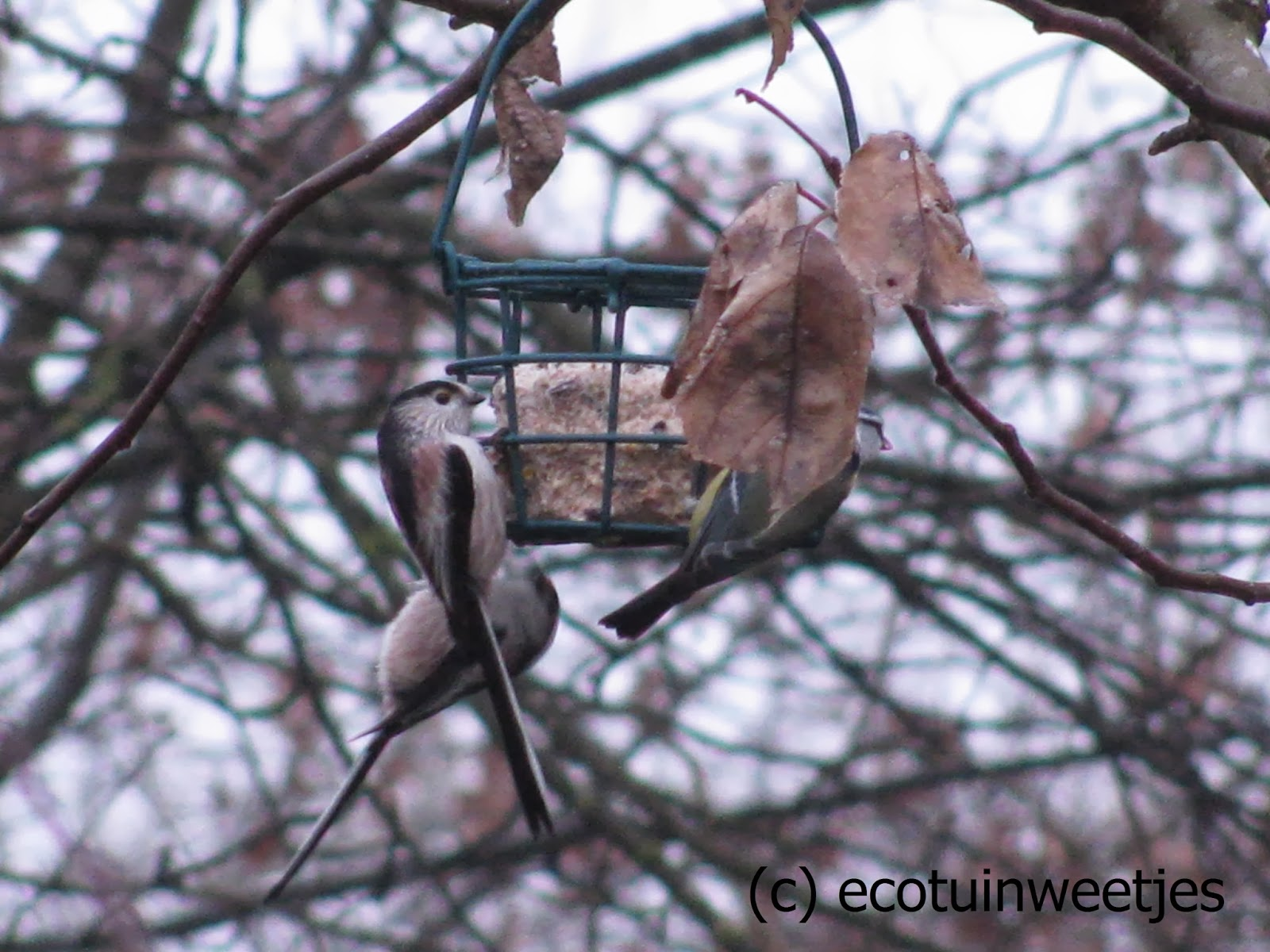 Vetbol maken voor vogels, met of zonder frituurvet, vogels voeren