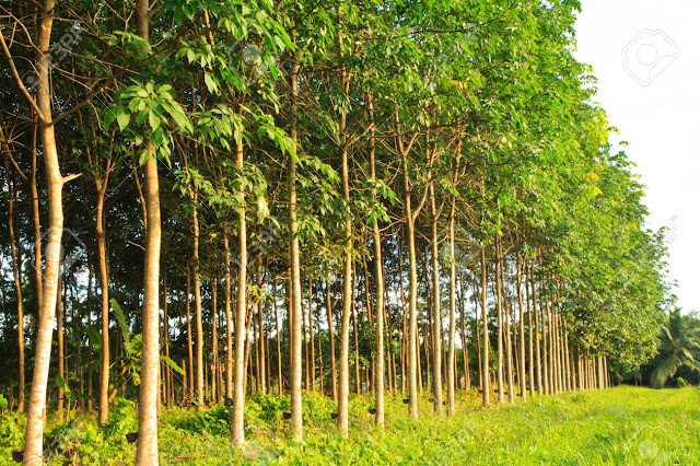 5 Rubber Tree Seeds (Hevea brasiliensis) 100% Quality Milky Latex