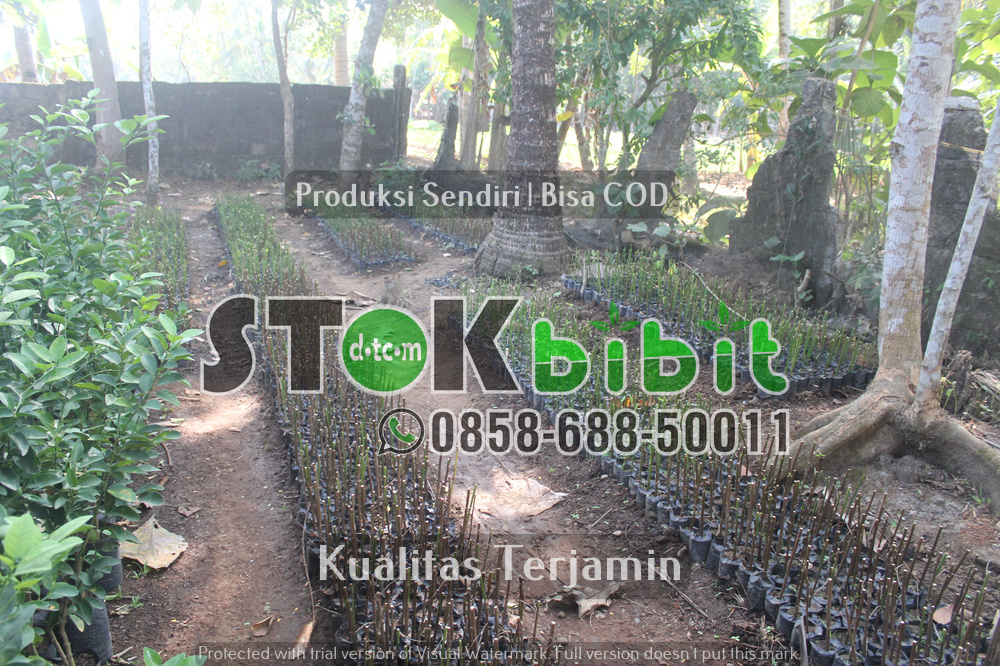 Bibi Durian Musang king 2 meter      Unggul     terjamin