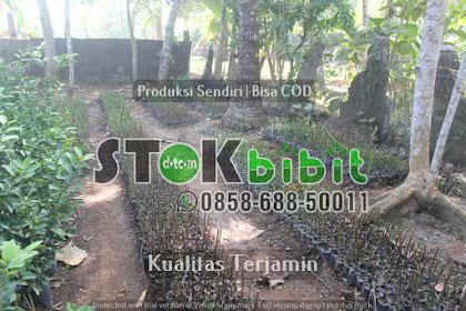 Bibi Durian Musang king 2 meter    Unggul