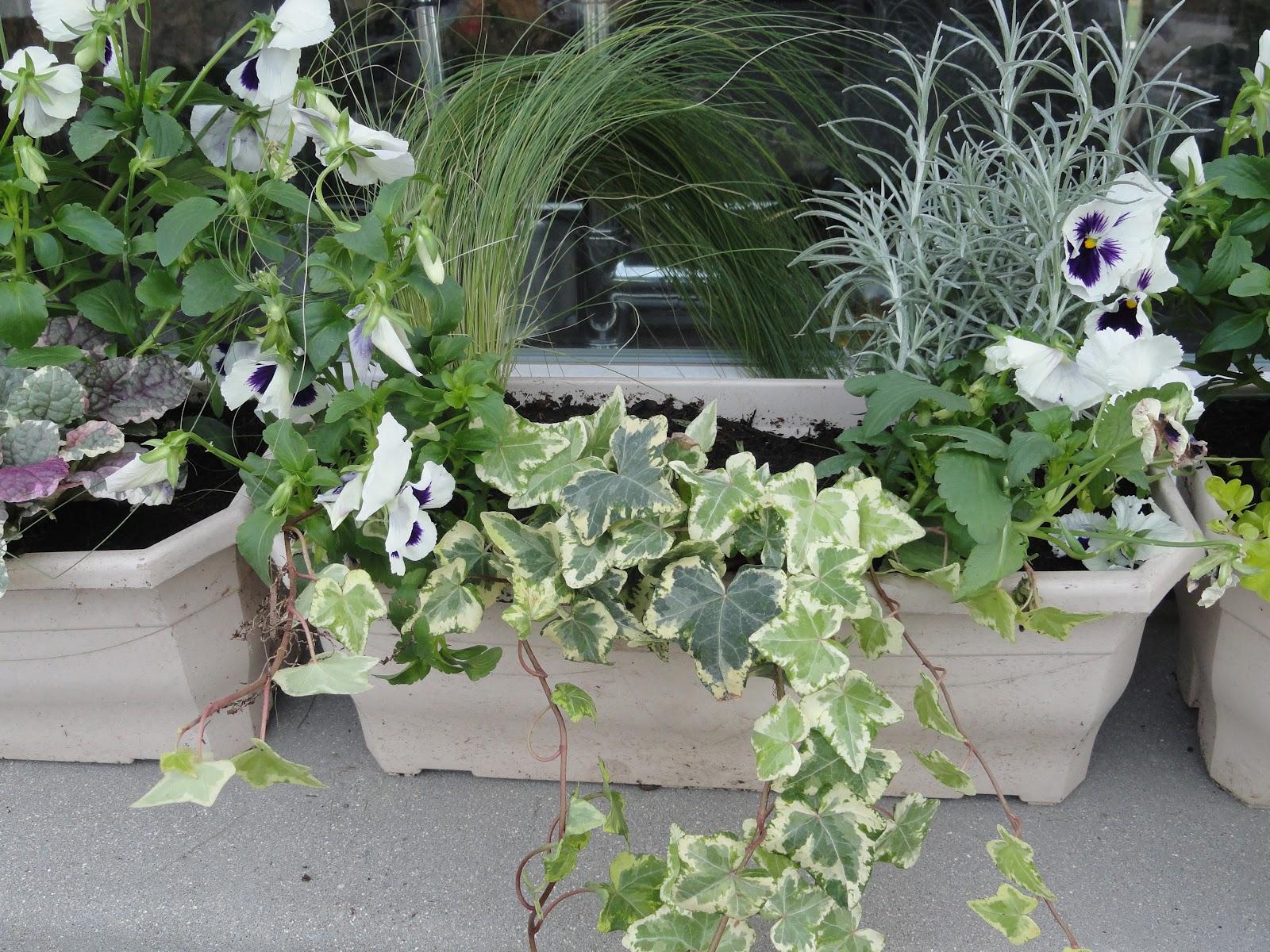 plantes d 39 hiver pour balcon liste ooreka plante balcon hiver. Black Bedroom Furniture Sets. Home Design Ideas