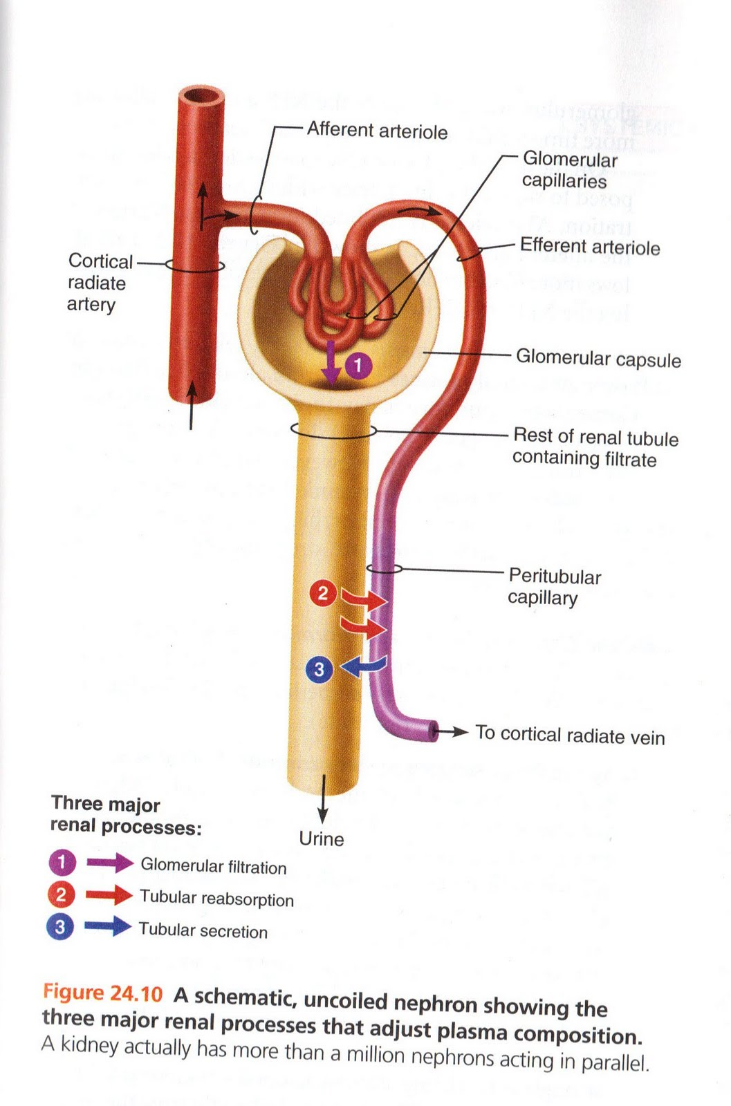 Nephron Diagram From A Textbook Plantar Fasciitis Jennifer Kersey E Portfolio Bio211 Objectives 63 And 66