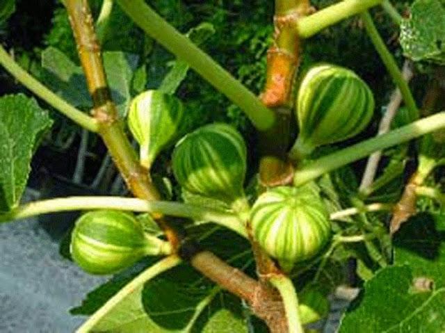 Image result for cara budidaya pohon tin