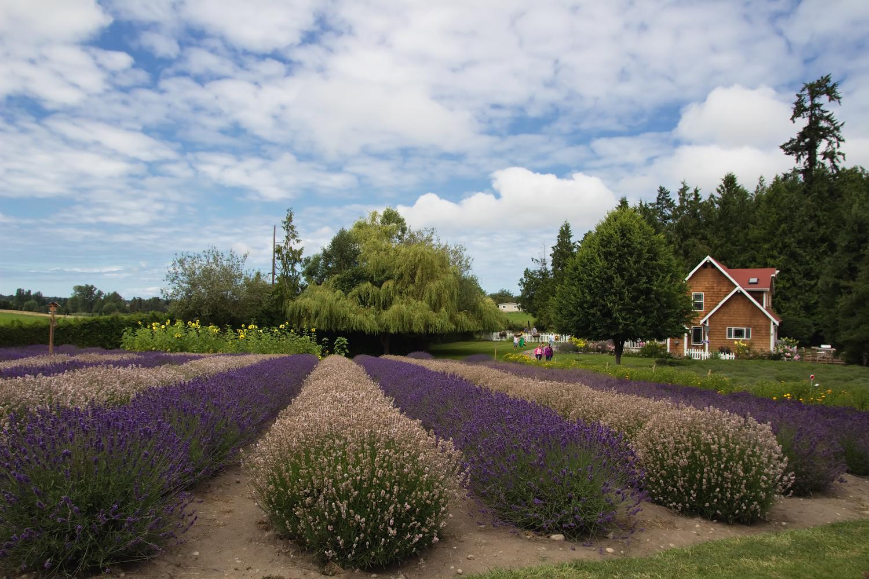 Loving Washington State Purple Haze Lavender Farm