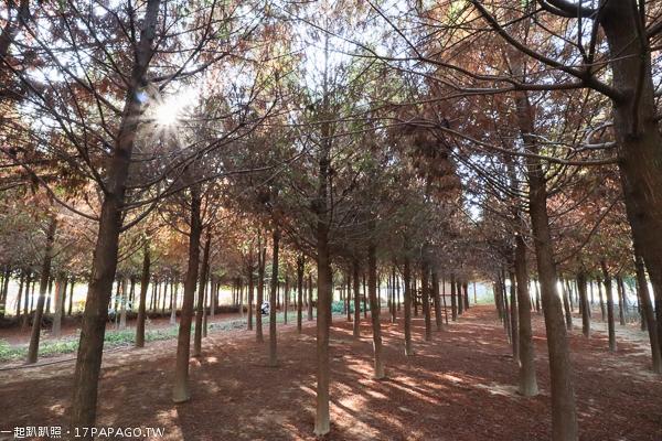 台中新社|2018水井落羽松|新社落羽松秘境|森林中隱藏著白色小木屋