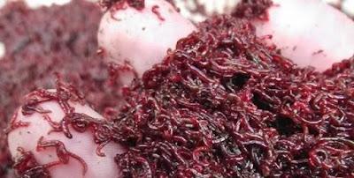 Gambar Cacing Darah untuk Ikan Hias Neon Tetra