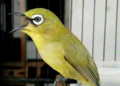 cara memilih dan merawat burung pleci jantan