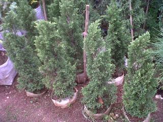 Aneka-jenis-tanaman-tahan-panas