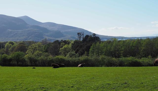 killarney, lehmät laitumella