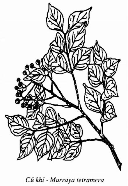 Hình vẽ Củ Khỉ - Murraya tetramera - Nguyên liệu làm thuốc Chữa Cảm Sốt