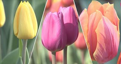 iced tulipes