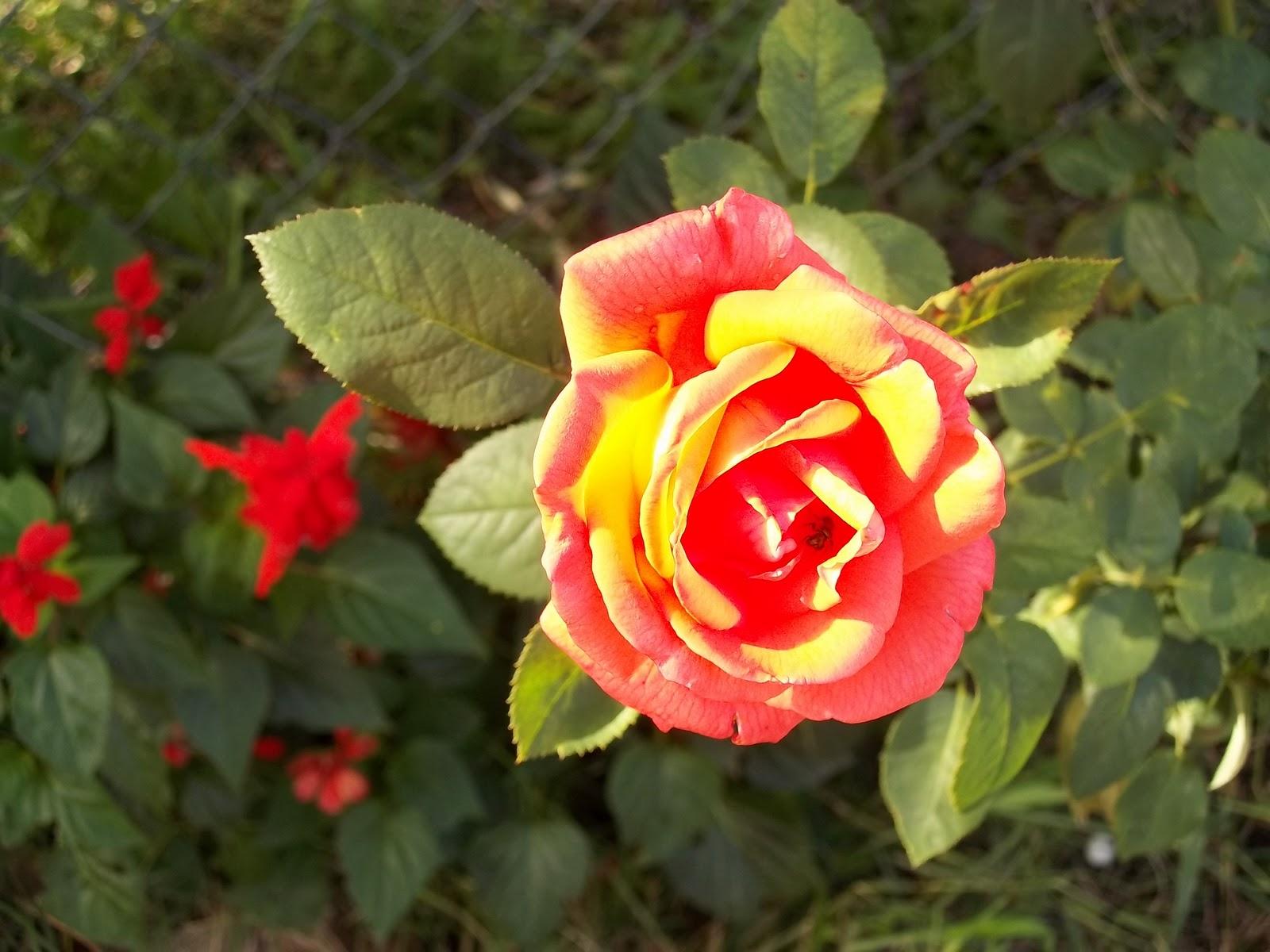 Cuidado de las rosas for Mantillo o sustrato