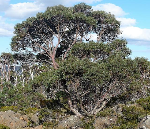 Planting Under Eucalyptus Trees : How to grow the tasmanian snow gum eucalyptus coccifera garden