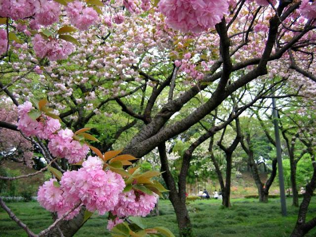Трешња у цвату