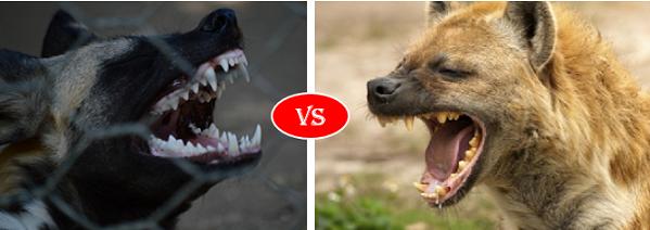 African wild dog vs Hyena