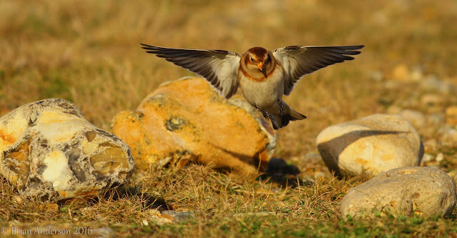 Snow Buntings at Salthouse