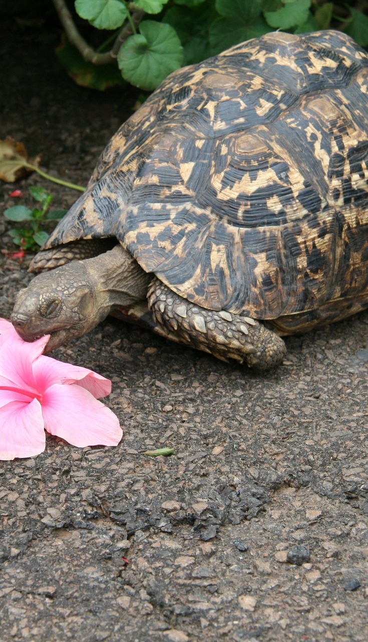Tortoise eating a flower.