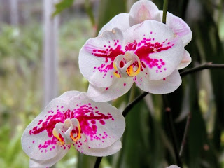 bunga-anggrek-surabaya