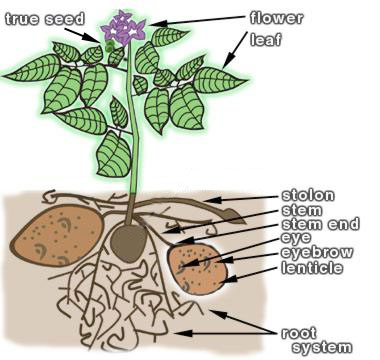 diagram of a potato plant diagram of a bamboo plant