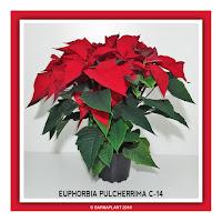 Poinsettia-Euphorbia-Pulcherrima-C14-2018.jpg
