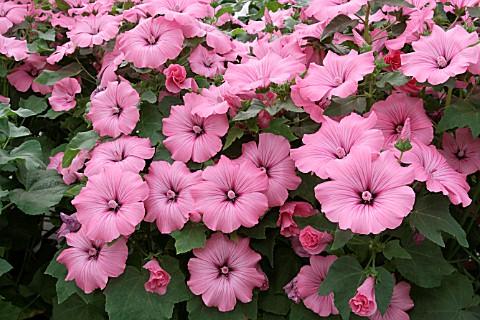 O nome Malva se refere a várias espécies de um mesmo gênero de planta, naturais das regiões temperadas, subtropicais e tropicais da África , Ásia e Europa . Algumas espécies são consideradas plantas invasoras, particularmente nas Américas onde eles não são nativos.