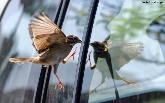 Como evitar que pássaros batam em janelas, muros e fachadas de vidro