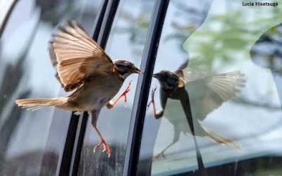 Ave batendo no vidro, evitar que aves batam em vidro, vidro, morte de aves, pássaros batendo em vidro, pássaros, fachadas de vidro, muros de vidro, extinção, espécies de aves, natureza, preservação ambiental, conservação, Bird collisions, glass collisions, birds
