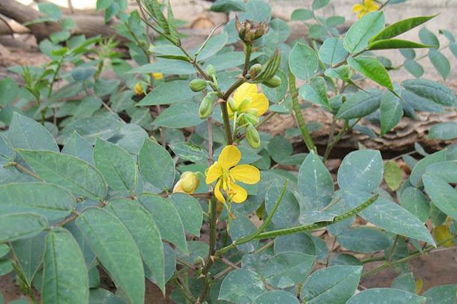 Vọng Giang Nam - Cassia occidentalis - Nguyên liệu làm thuốc Nhuận Tràng và tẩy