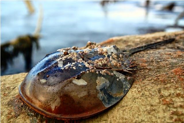 Kepiting tapal kuda bakau (Mangrove horseshoe crab) ditemukan di pantai Tanjung Limau