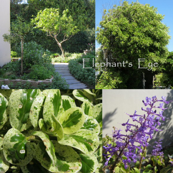 Discovered Treasures in our False Bay garden Lemon and carob trees Shrubby Marble Chips and Plectranthus