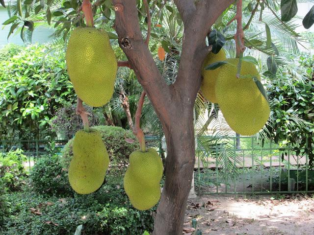Frutti Jackfruit Artocarpus heterophyllus
