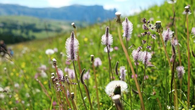 I fiori dell'Alpe di Siusi